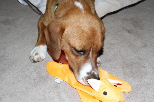 Buddy and the fox